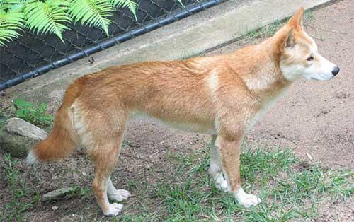 Image result for chó lài