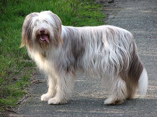 Giống chó lông dài Bearded Collie