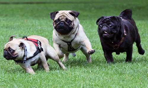 Giống chó Pug - giống chó có ngoại hình đặc biệt