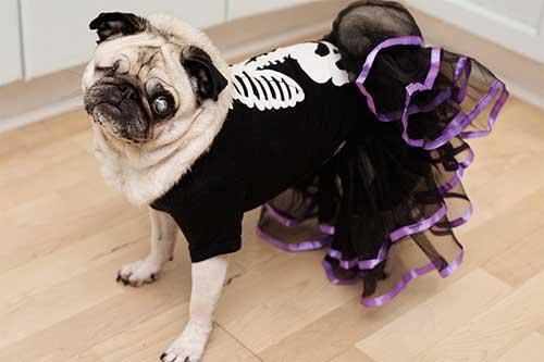 Giống chó Pug - giống chó các bộ mặt đặc biệt