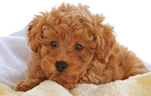 Giống chó Poodle - giống chó nhỏ được ưa chuộng