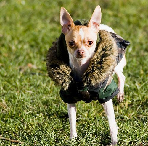 Chi Hua Hua - giống chó nhỏ nhất thế giới