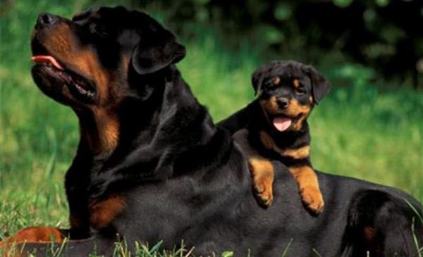 Giống chó Rottweiler - hiện thân của sự quý phái