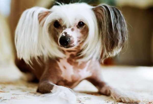 Khắc phục hiện tượng chó nuôi bị rụng lông?