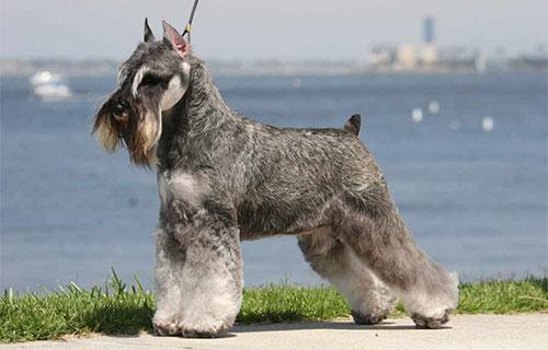 Chó Schnauzer