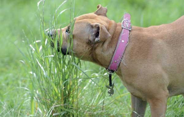 Tại sao cún nhà bạn lại ăn cỏ? - VietDVM | Trang thông tin kiến ...