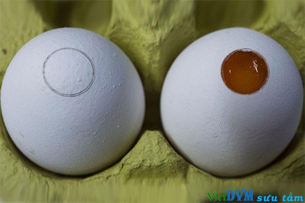 """Một quả trứng đã được vá lại sau khi kiểm tra xác định giới tính (bên trái) và một quả trứng đã được """"mở"""" nắp vỏ để chuẩn bị phân tích quang phổ kế (bên phải)"""