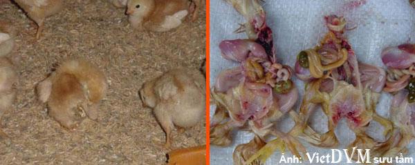 Gà bị tiêu chảy và túi lòng đỏ không tiêu lúc 2-6 ngày tuổi