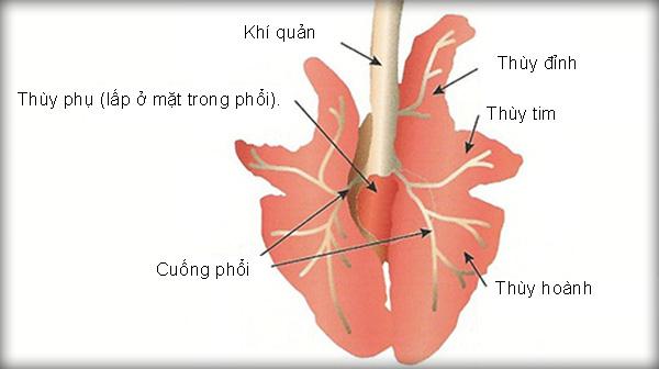 Kết quả hình ảnh cho Cấu tạo phổi lợn h