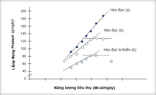 Hình 2: Mối quan hệ giữa việc tiêu thụ năng lượng và lắng đọng protein trên heo đực và heo đực thiến từ 45-90 kg (theo Campbell và các cộng sự, 1988)).