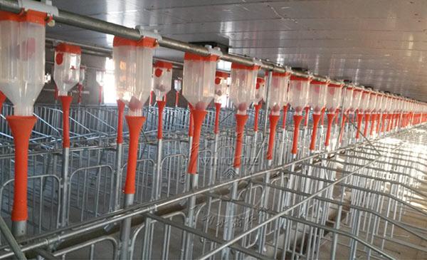 Ảnh 1: Hệ thống vận chuyển thức ăn tự động trong một trại heo