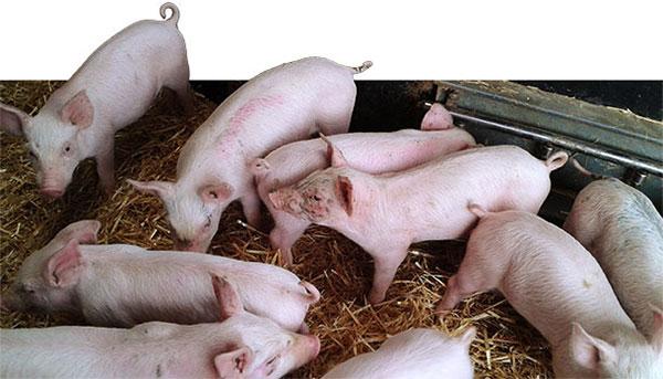 1 heo con cham phat trien Salmonella và PVC2 gây bệnh ngay sau khi lợn cai sữa