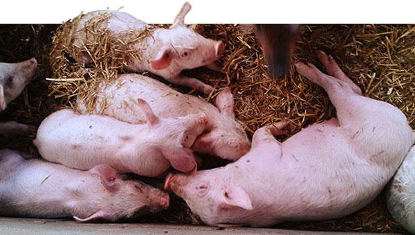 2 heo con khong dong deu Salmonella và PVC2 gây bệnh ngay sau khi lợn cai sữa
