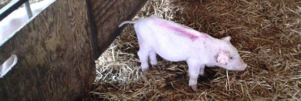 3 heo con co the xanh xao Salmonella và PVC2 gây bệnh ngay sau khi lợn cai sữa