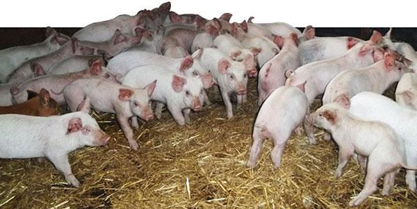 9 tai tham tim va the trang giam sut Salmonella và PVC2 gây bệnh ngay sau khi lợn cai sữa