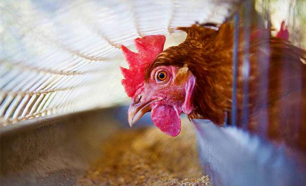 Chu  trình sử dụng Canxi ở gà đẻ - ứng dụng sử dụng thức ăn hiệu quả