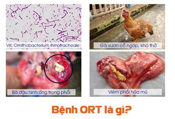 Bệnh ORT trên gà là gì?