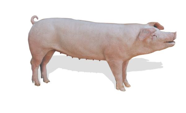 Năng suất chăn nuôi của trại phụ thuộc rất nhiều vào chất lượng đàn nái.