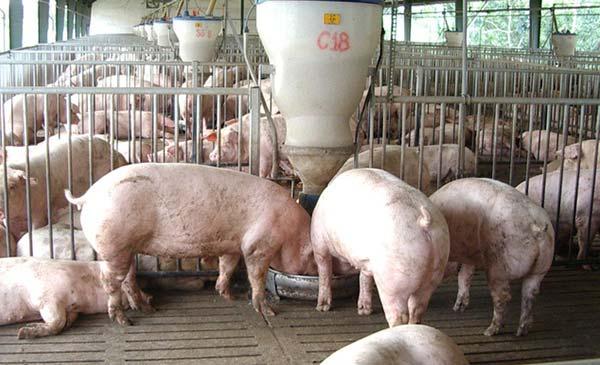 Người chăn nuôi đang lao đao vì giá heo hơi giảm mạnh