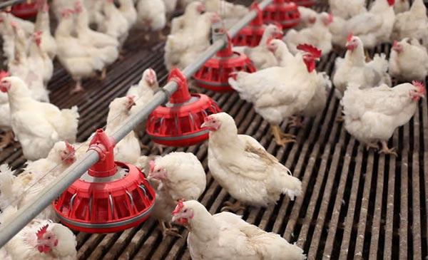 Ẩm độ quá cao hay quá thấp đều ảnh hưởng không tốt tới gà.
