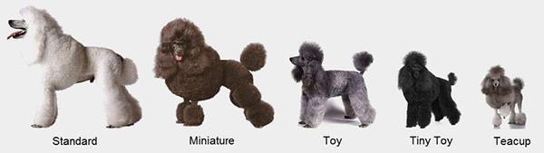 Kích cỡ giống chó poodle