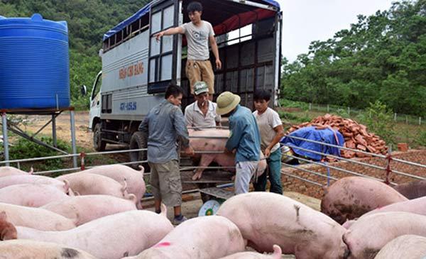 Sau cơn bão số 2, giá heo hơi tại Nghệ An tiếp tục tăng cao. Ảnh IT