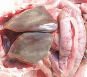 Bệnh tích trên gan bệnh Ecoli trên gà