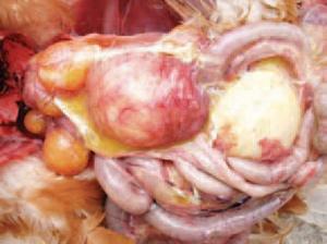 Buồng trứng viêm do nhiễm bệnh Ecoli trên gà.