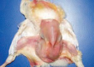 Khi nào dễ mắc bệnh Ecoli trên gà
