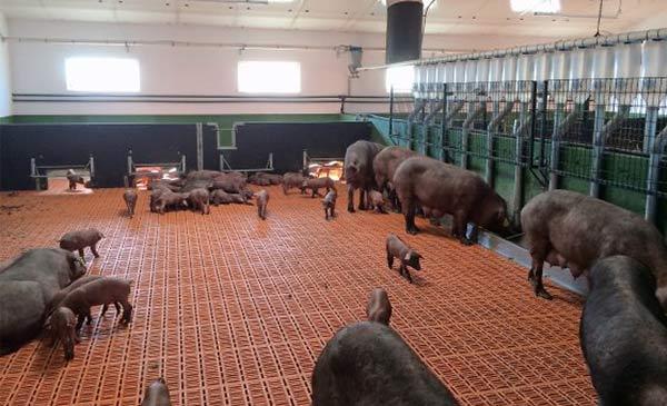 Trang trại của Colin ở Pozoblanco, Tây Ban Nha nuôi tập trung toàn bộ heo nái cho con bú trong cùng một khu vực.