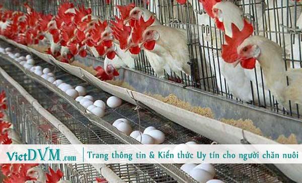 Dinh dưỡng trong chăn nuôi gia cầm