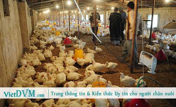 Sử dụng thời gian hiệu quả để chăn nuôi gia cầm thành công.