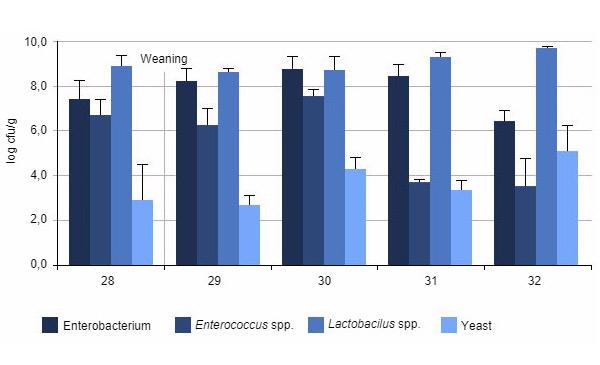 Biểu đồ 1: Số lượng vi khuẩn trung bình trong đường ruột heo con ở các giai đoạn khác nhau sau khi cai sữa.