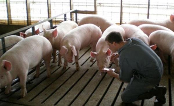 Thời điểm vàng trong chăn nuôi heo nái là trước khi cai sữa