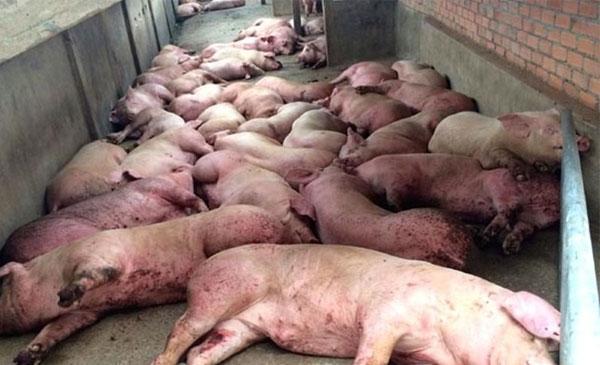 Trung Quốc bùng phát mạnh dịch tả lợn, nguy cơ lan sang các quốc gia láng giềng