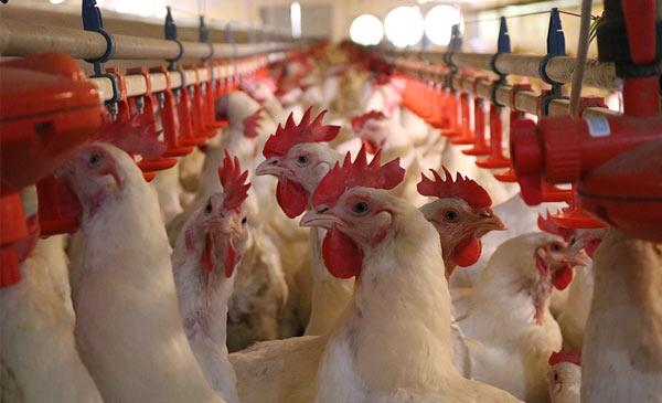 Giống gà được nuôi tại các trại chăn nuôi của công ty Bel Gà