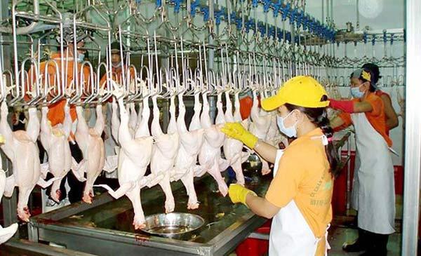 Ngành chăn nuôi gia cầm của Việt Nam đang có rất nhiều tiềm năng, lợi thế cho xuất khẩu...