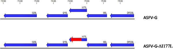 Sơ đồ chỉ ra vị trí của đoạn gen  I177L trong bộ gen ASFV-G